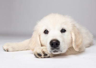 puppy-portrait-north-carolina